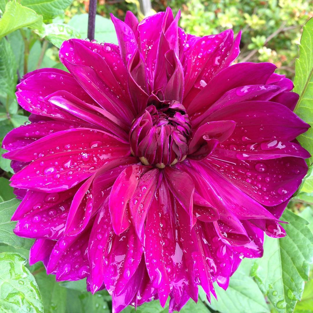 Dahlias are even more beautiful with droplets of rain buthellip