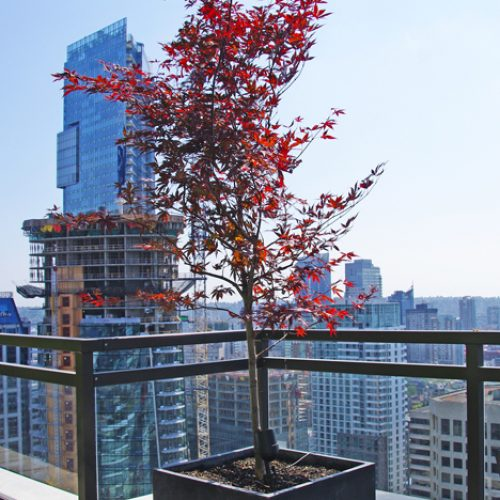 maple tree in cube
