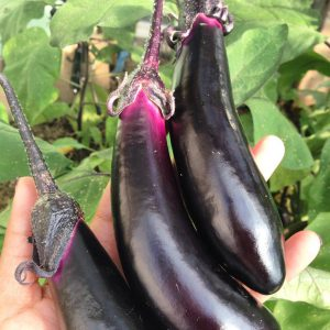 Homegrown eggplant! Get ready for some yummy eggplant pakoras!
