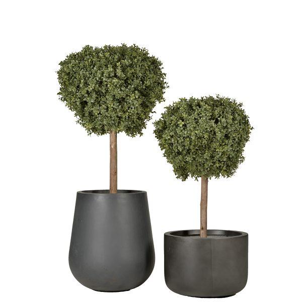 Boxwood Topiary Sized